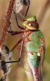 Common Green Darner (Anax junius)