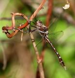 Cruisers (Family Macromiidae)