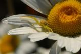 Spider & Daisy