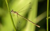 Slender Spreadwing; Lestes rectangularis, Female