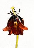 tulip boss emboss.jpg