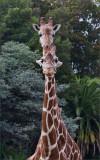 Giraffes, Oakland Zoo
