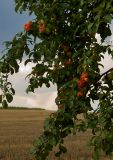 Apples Of August