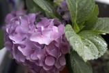 Hydrangea @f4.5 5D