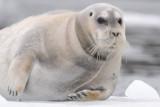 Bearded Seal - Baardrob