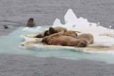 Walruss - Walrus