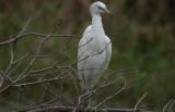 Little Blue Heron - white-phase