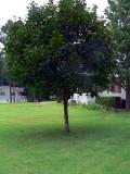 favorite front tree.jpg
