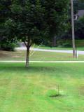 my 2 shade trees.jpg