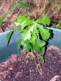 volunteer oak.jpg