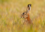 Brown Hare - Fälthare