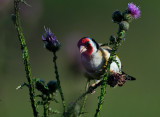 Steglits - European Goldfinch