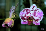 Doritaenopsis Chain Xen Pearl