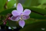 Phalaenopsis equestris rosea leucaspis