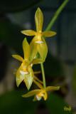 Phalaenopsis cornu-cervi flava