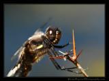 dragon_fly02_5036.jpg