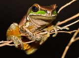 Davies's Tree Frog