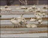 0683 Tundra Swans.jpg