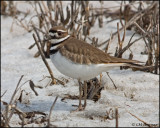 0696 Killdeer.jpg