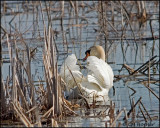 0829 Mute Swan.jpg