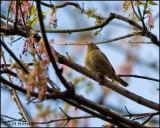 1037 Worm-eating Warbler.jpg