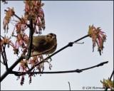 1042 Worm-eating Warbler.jpg