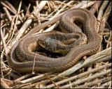 1271 Garter Snake.jpg
