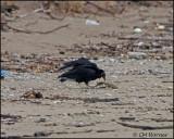 1303 Black Vulture.jpg