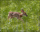 1419 White-tailed Deer fawn.jpg
