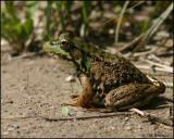 1112 Green Frog.jpg