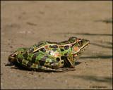 1125 Northern Leopard Frog.jpg