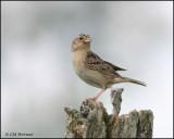 1167 Grasshopper Sparrow.jpg