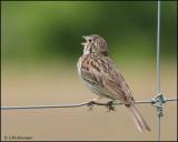 1191 Vesper Sparrow.jpg