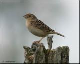 1173 Grasshopper Sparrow.jpg