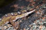 Ocellated velvet gecko oedura monilis _DSC5528