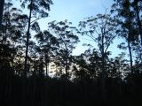 Eucalypt Forest at Sunset. (Janet Kleiner)