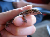 Bynoe's gecko (Lara Fine)