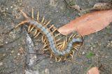 Centipede (Jaime Malo)