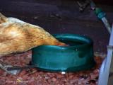 July 18 ~ Thirsty Hen.