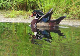 July 1 ~ Red, White & Blue Duck.