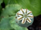 Poppy DSC01515 H-5.jpg