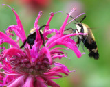 Hemaris Thysbe [Hummingbord Moth] in Beebalm