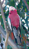 Galah (Parrot) My Favorite Bird!