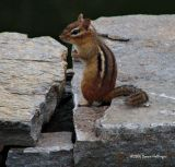 Chipmunk with some fur missing