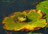 Bullfrog on a lily pad
