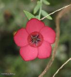 Dianthus (Angkor)