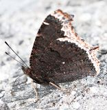 Mourning cloak camouflage