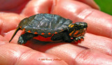 Baby Painted Turtle with Eggtooth