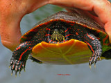 Painted Turtle and Peter