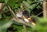 American Redstart Parent